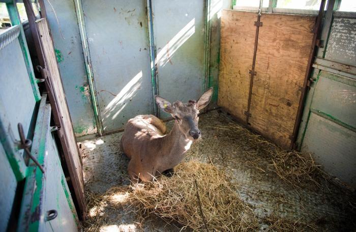 Cernobbio la Polizia Provinciale rilascia un cervo sul monte Bisbino