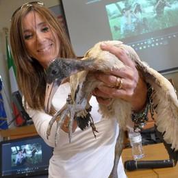 Cucciago, salvato un ibis sacro  È la mascotte della mostra