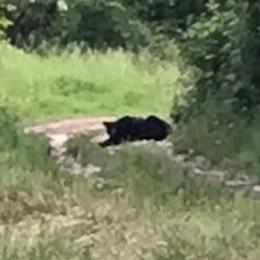 Caccia grossa nel Parco  Ma la pantera è un cane
