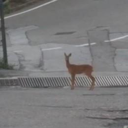 Un cerbiatto a passeggio  per le vie di Maslianico