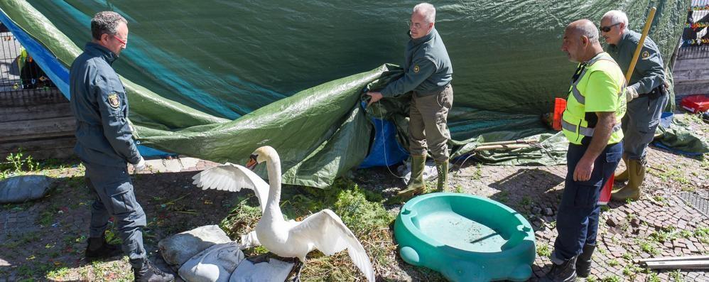 Como, lago troppo alto e cantiere  Spostato il nido dei cigni - Vid  eo