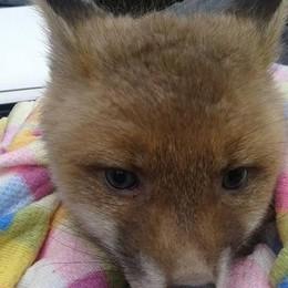 Cernobbio: Il cucciolo di volpe  «Forse era di un privato»