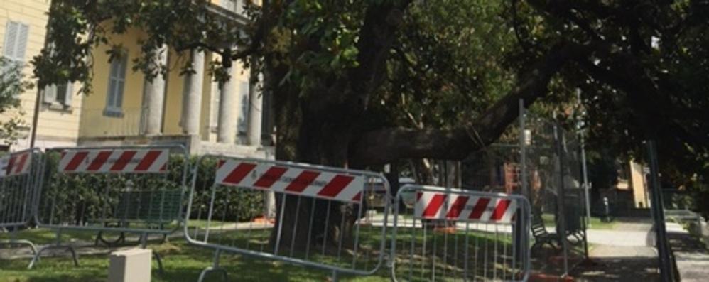 Casnate, transenne  per la magnolia malata  «Dobbiamo salvarla»