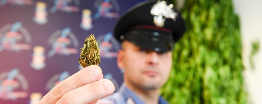 Una piantagione di canapa in riva al Cosia Sotto sequestro 330 piante di marijuana