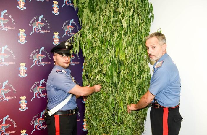 Due delle piante finite sotto sequestro: piantumate nel mese di giugno, hanno superato i due metri di altezza