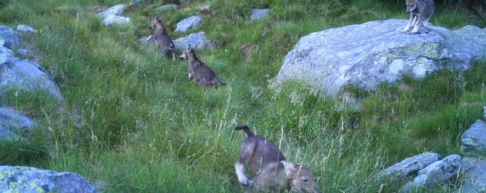 Ecco i quattro cuccioli di lupo  Fotografati vicini alla Val Cavargna