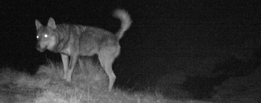 Val Cavargna, allevatore denuncia  «Il lupo ha sbranato 30 capre»