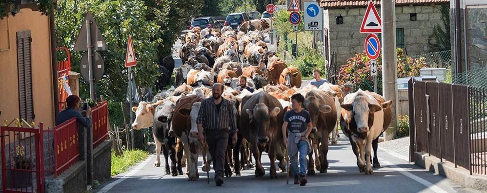La sfilata delle mucche  verso casa a Bene Lario