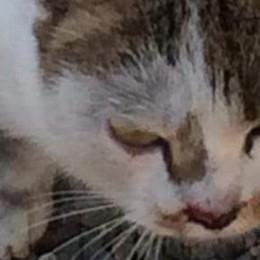 Si infila nel vano motore dell'auto  Gatto viaggia da Uggiate a Lurate