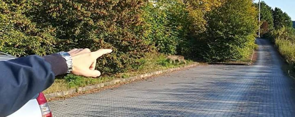 «Ecco il puma a Cucciago»  Ma è mistero sulla foto