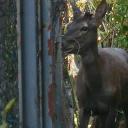 Un cervo a spasso per Somaino  Allarme animali selvatici in città