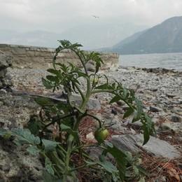 Il lago troppo basso diventa orto  Sugli argini pomodori e zucchine