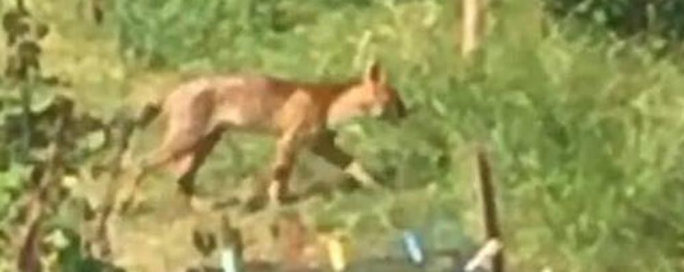 Il puma gira libero da tre mesi  «Animale difficile da catturare»