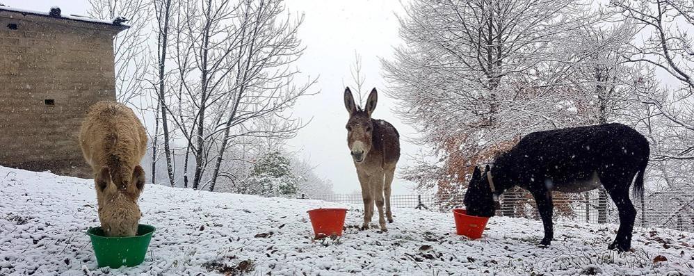 Prima neve in Val D'Intelvi  Ma non preoccupa gli asinelli