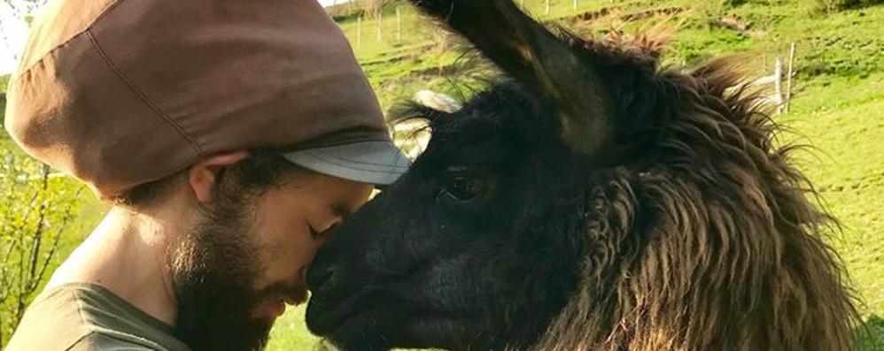 I lama allevati in Valle Intelvi  «Ormai  protagonisti delle gite»