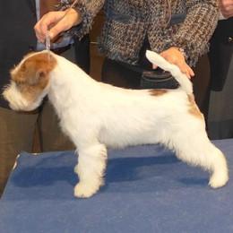 In seimila per il cane più bello  A Lariofiere vince un Jack Russell