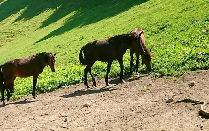 "I ""cavallini della Giara""  Paradiso in Valle Intelvi"