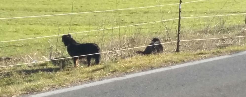 Cani randagi: nuovo attacco ai cervi  Due salvati dall'uomo, morti i piccoli