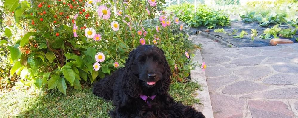 Cucciago, torna l'avvelenatore di cani  «Era un topicida: Lili poteva morire»