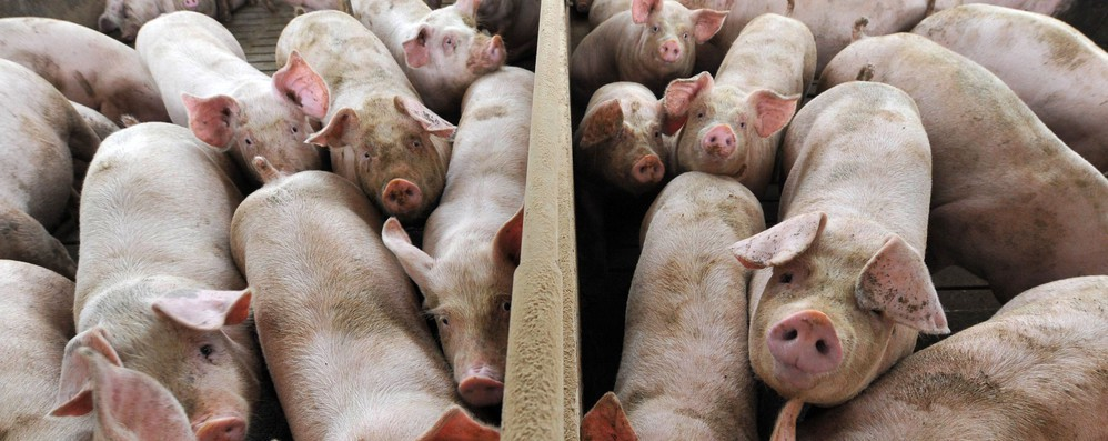 Animalisti Ue, 'maltrattati i maiali del Prosciutto Parma'