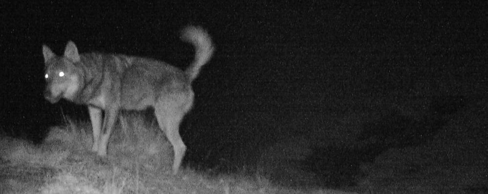 Pecore uccise ad Argegno  «Attaccate da cani randagi»