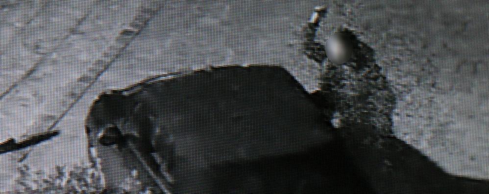 Lenno, taglia la capote di una Mini  Sotto gli occhi della telecamera