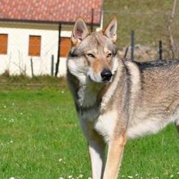 """Carbonate, difende il suo cagnolino  Azzannata a un braccio da un """"lupo"""""""