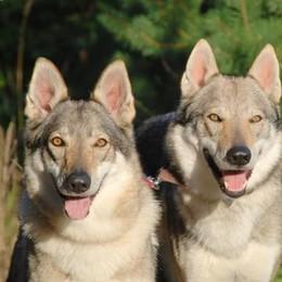 Lomazzo: due ragazze    trovano i lupi di notte