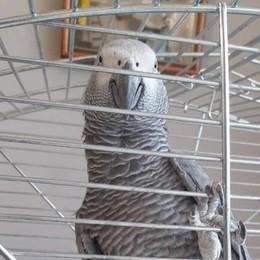 Incursione dei ladri a Bulgarograsso  Rubato il pappagallo Rambo