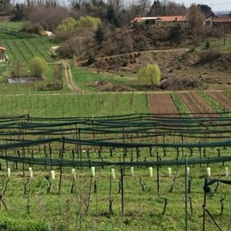 Colline comasche come terre da vino  Superate le diecimila bottiglie all'anno
