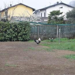 """Il chicchirichì è troppo forte  Due galli """"indagati"""" a Cadorago"""