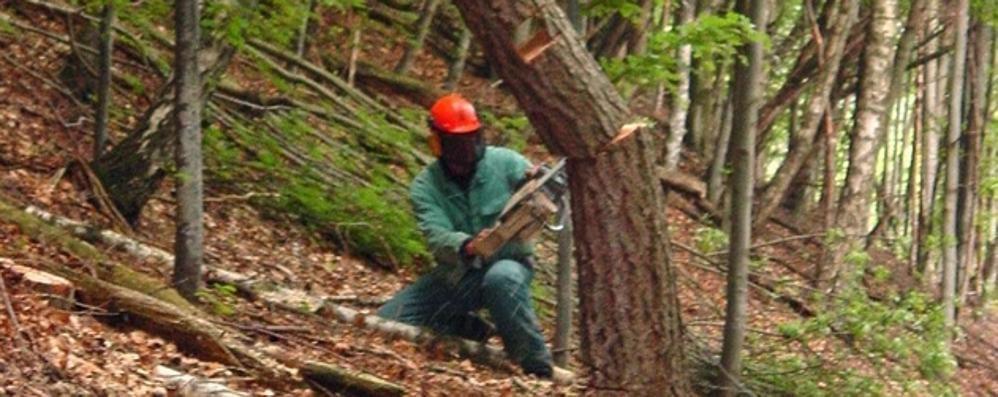 Taglia gli alberi sui terreni altrui  Allevatore accusato di furto a Valbrona