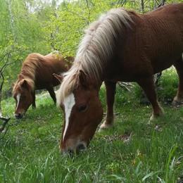 Cavalli del Bisbino  La transumanza è una festa