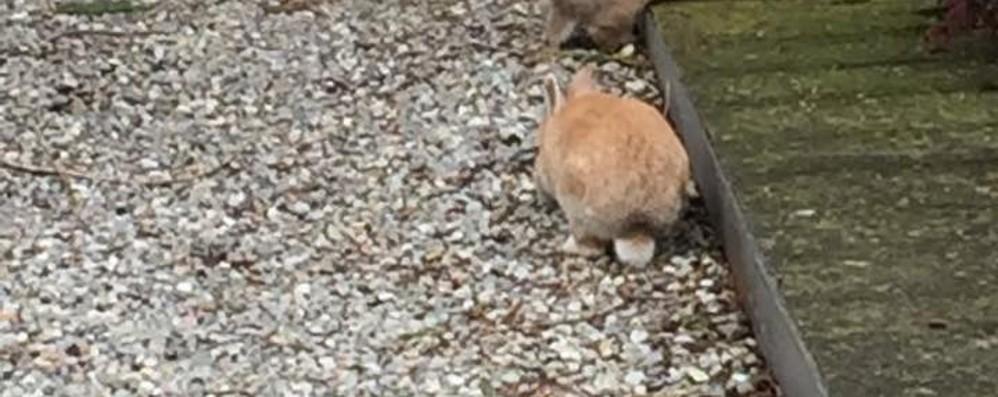 Caccia ai conigli nel cimitero  Trappole e reti per sfrattarli da Lipomo