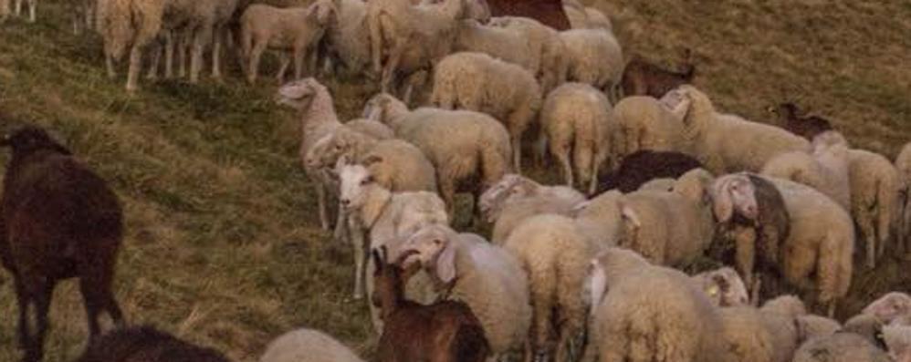 «Ci hanno rubato 150 pecore»  Misterioso furto nel parco Lura