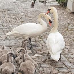 Famiglia di cigni fuori da casa di Clooney
