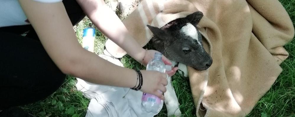 La storia del vitellino  sperduto tra i pascoli  E salvato dai volontari