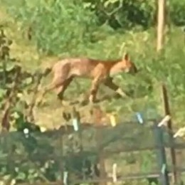 Avvistamenti e orme a Casnate  «Può essere un ibrido di puma»