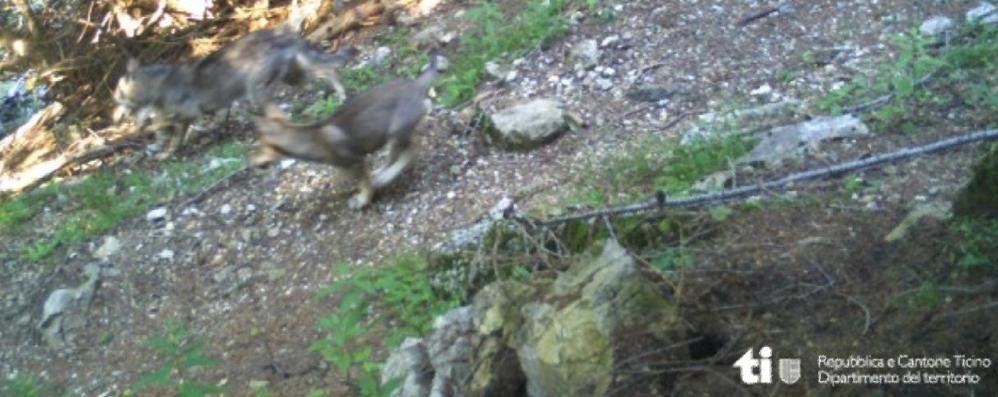 Sempre più lupi al confine svizzero  Allarme in Val Cavargna e Alto lago