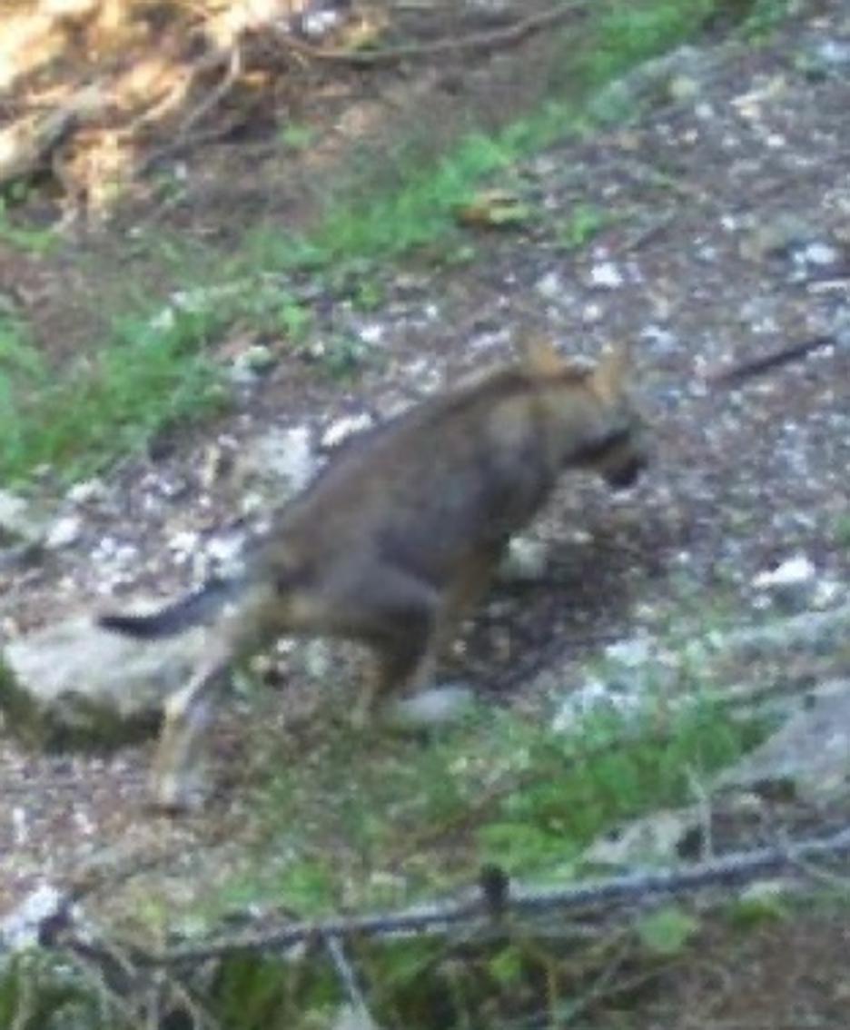 Un'altra immagine di un piccolo della quarta cucciolata immortalata in Valle Morobbia