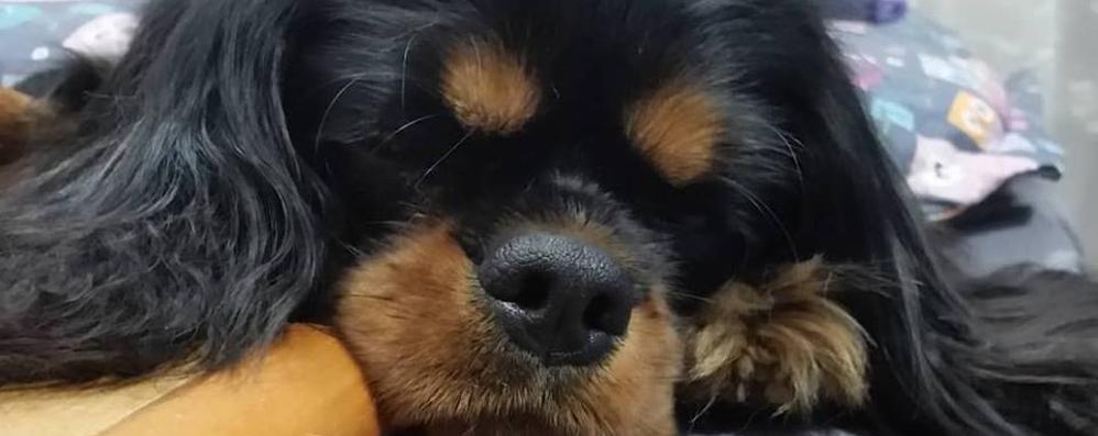 Cucciola sbranata da altri due cani  La proprietaria ferita per difenderla