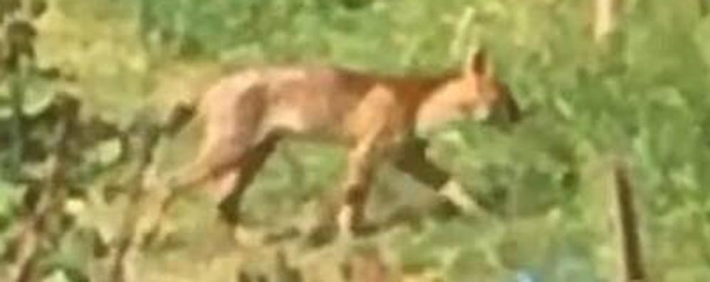 Un felino in mezzo ai boschi  Avvistato a Casnate   GUARDA IL VIDEO
