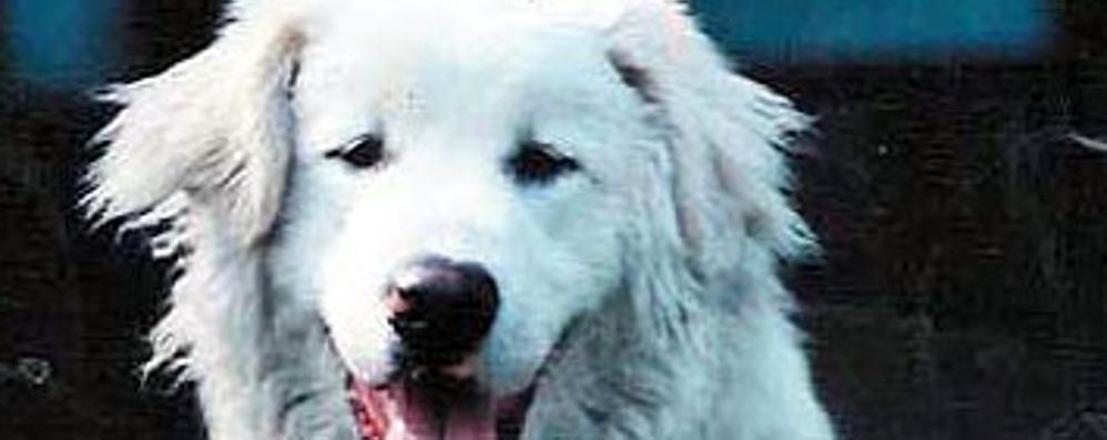 Aggrediti dal proprio cane  Padre e figlio feriti a Cadorago