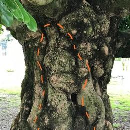 Tappa piedibus a Menaggio  C'è il coniglietto nella magnolia