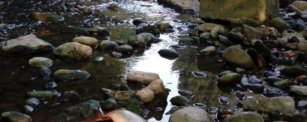 Fino, si blocca il depuratore  Moria di pesci  nel Seveso