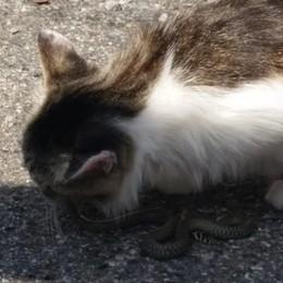 Il mistero dei gatti che spariscono  A Olgiate sono già undici