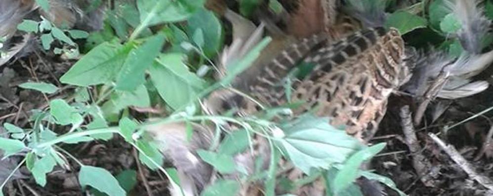 Puma, l'allarme torna a Navedano  «Fagiano sbranato vicino al bosco»