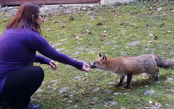 Una volpe tira l'altra  «A Claino mi aspetta a casa e accetta anche il cibo»