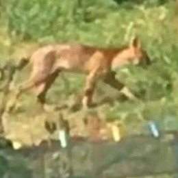 """Ogliate: riecco il puma  E su Fb il sindaco  lancia il """"toto"""" felino"""