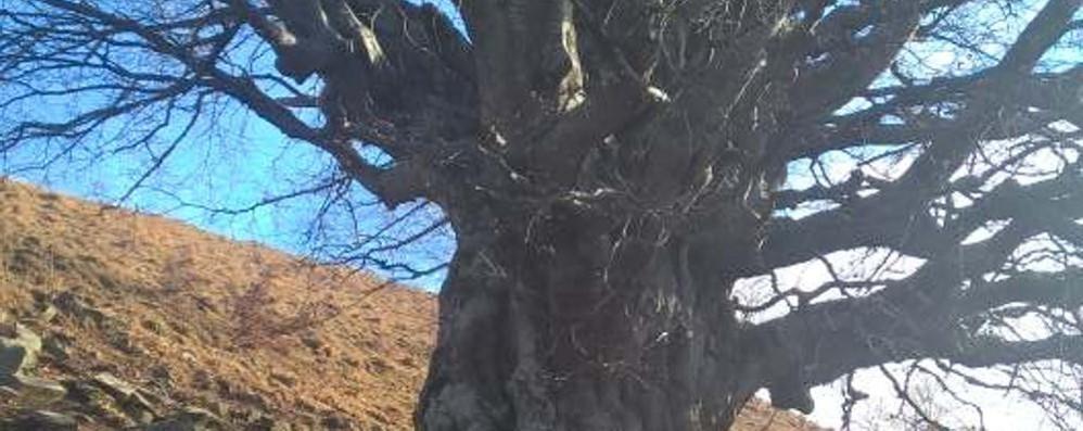 Il mistero del faggio del monte Mater  «Sono troppi otto secoli di vita»